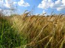 Agricoltura: 51 mila beneficiari ricevono i pagamenti Agea per 118 milioni di euro