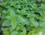 Agea e piante officinali ora si cambia