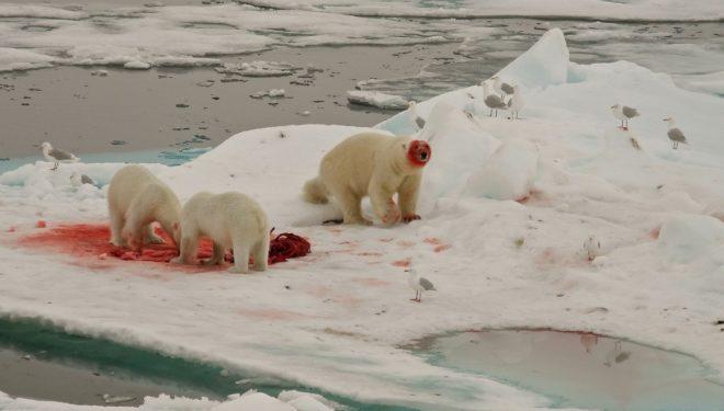 Riscaldamento globale: benefici o danni per gli orsi polari?