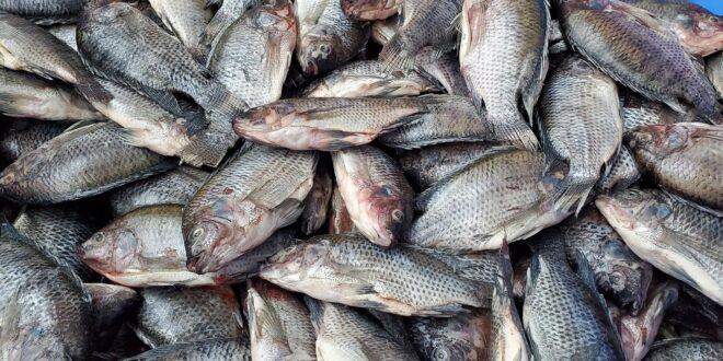 tonnellate di pesci morti in Libano