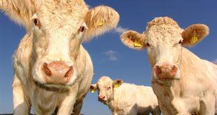 mercato nazionale delle carni bovine