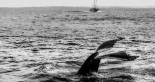 le balenottere azzurre sono in pericolo
